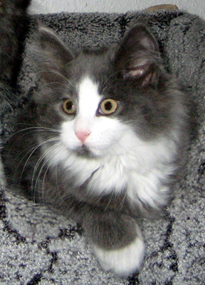 Kimahri im Alter von 10 Wochen =^..^= Kimahri at the age of 10 weeks
