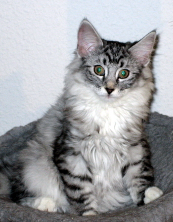 Yuna im Alter von 13 Wochen =^..^= Yuna at the age of 13 weeks